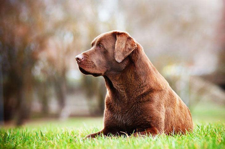 labrador retriever waiting to go out hunting