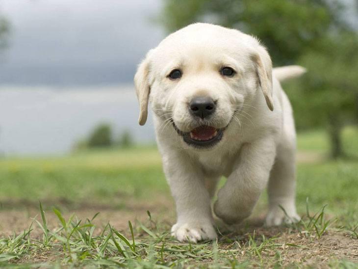 Pics Photos - Dog Breeds Cute Labrador Retriever Puppy Royalty Free ...
