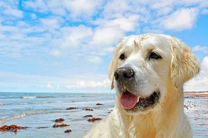yellow lab after a swim at the beach
