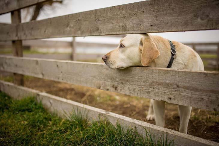 labrador retriever waiting for his master to come home