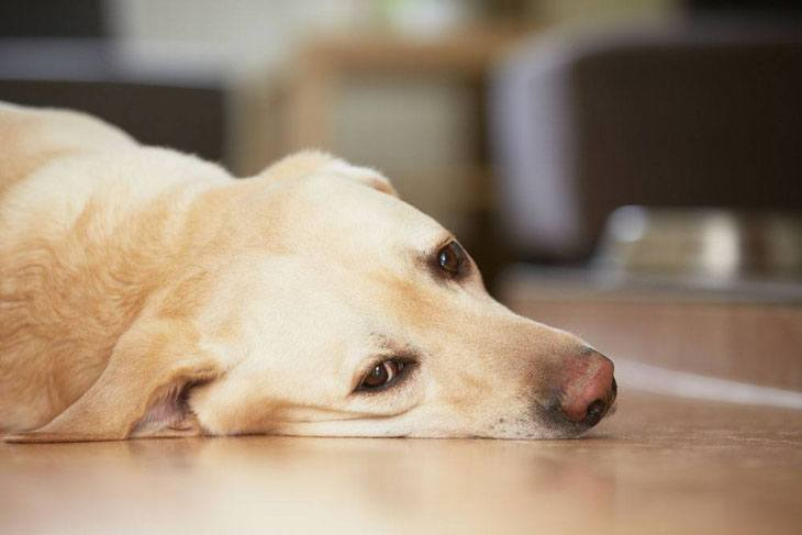 lonely yellow lab