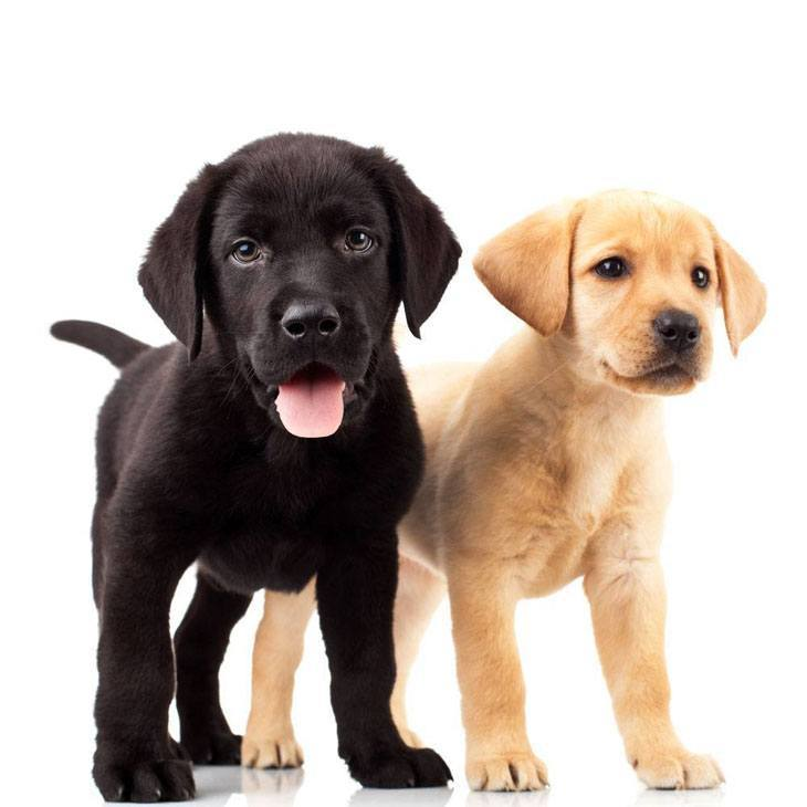 labrador retriever puppies looking for a playmate