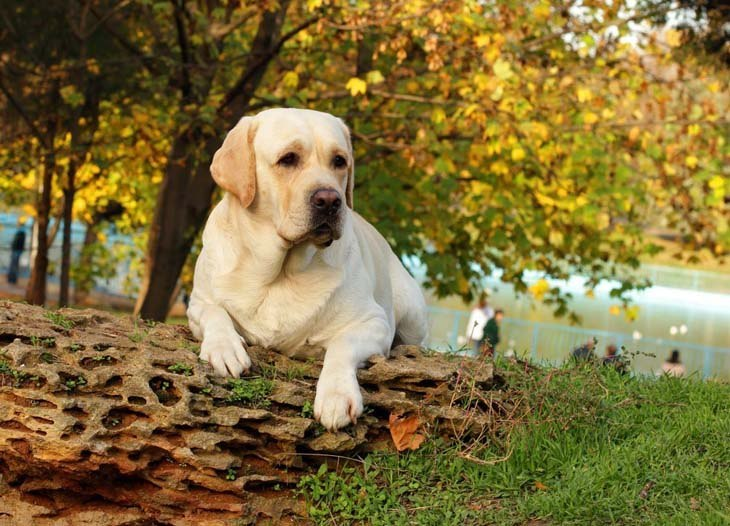 beautiful mature yellow lab