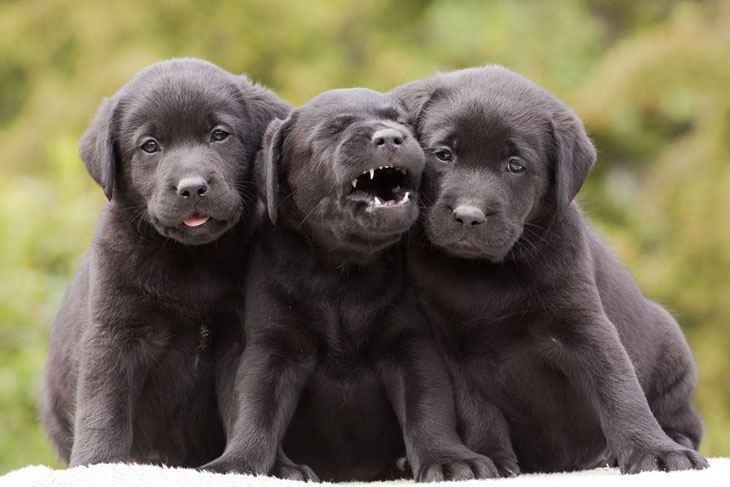 labrador retriever puppies wanting to play