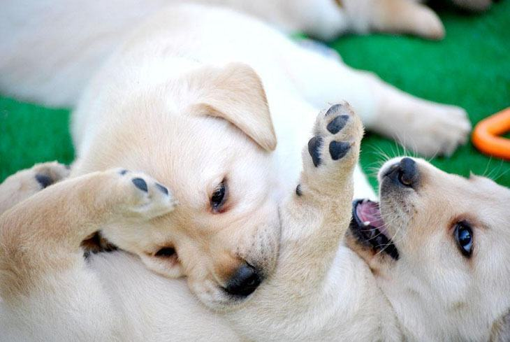 cute picture of labrador retriever puppies playing