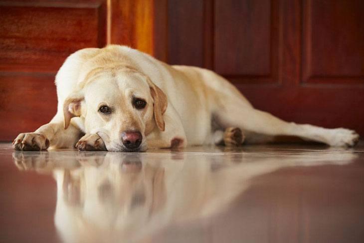 mature labrador retriever taking a rest