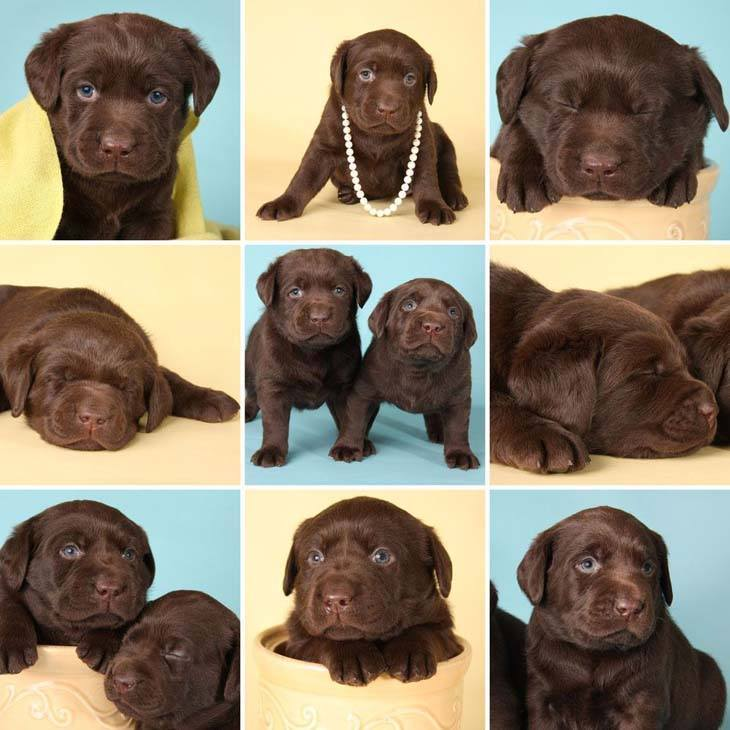 chocolate lab puppy ready to play