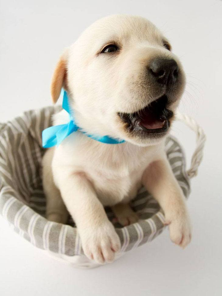 labrador retriever puppy looking for a kiss