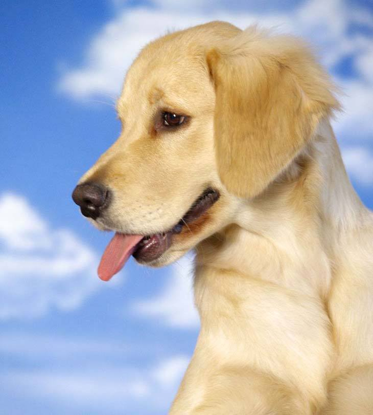 yellow lab puppy looking for a playmate