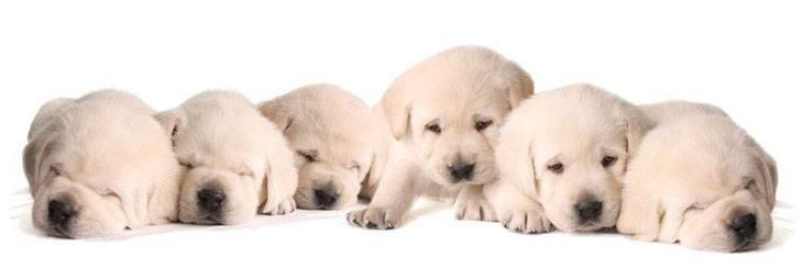picture of labrador retriever puppies taking a nap