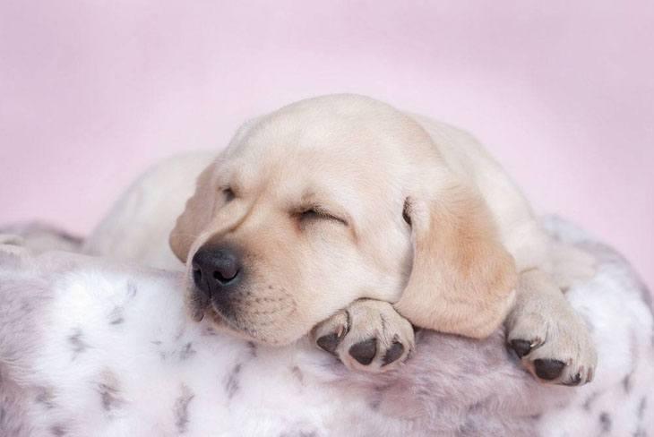 cute picture of labrador retriever  napping