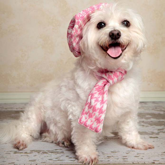 dressed up maltese ready for a walk