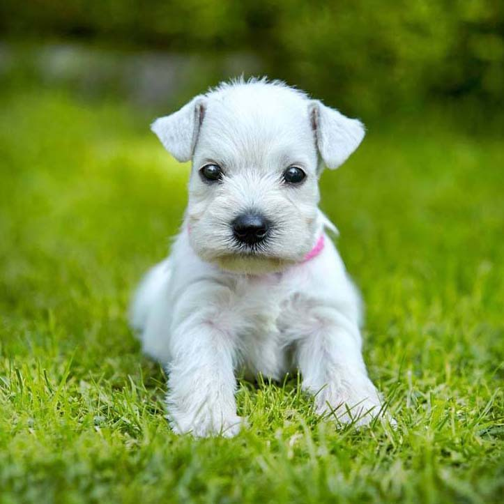 miniature schnauzer puppy ready for some fun