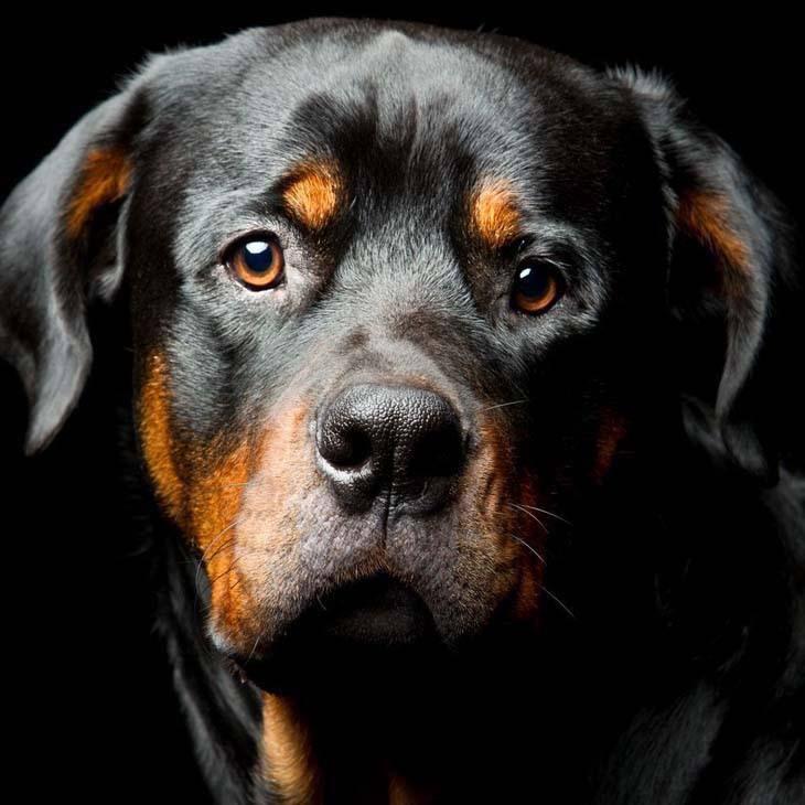 beautiful rottweiler posing for camera