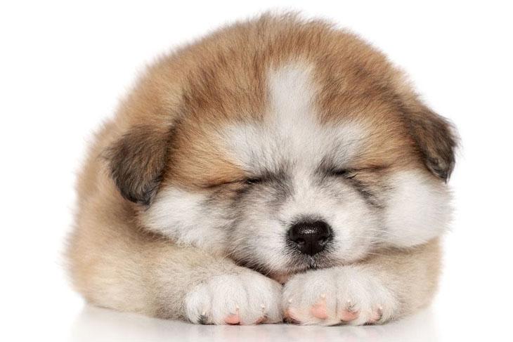 siberian husky puppies taking a nap