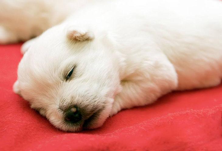 west highland terrier newborn fast asleep