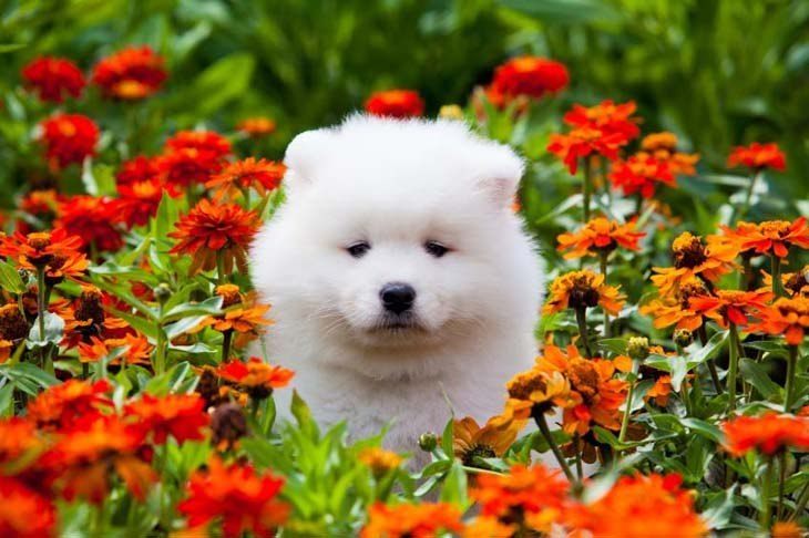samoyed puppy playing in a flower field