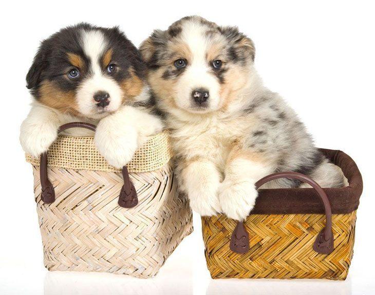 australian shepherd puppies looking for some fun