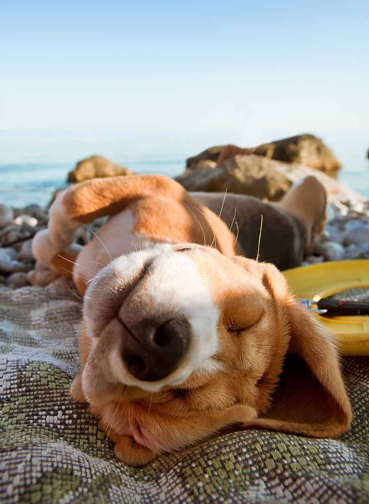beagle pup taking a nap at the beach
