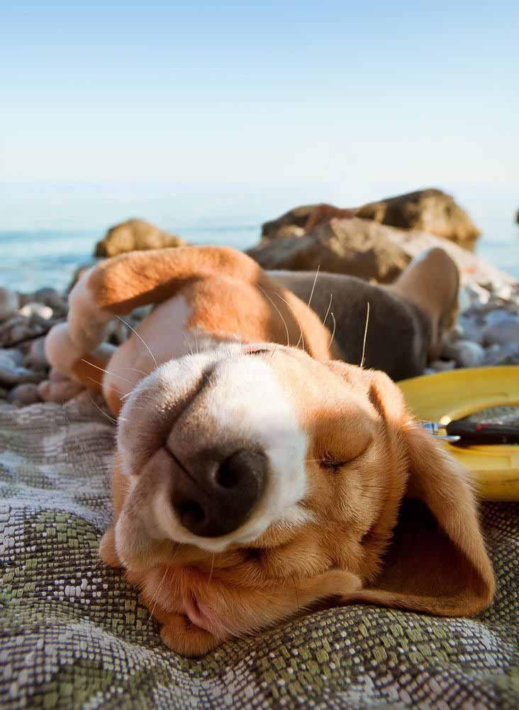 beagle pup taking a nap at the beach