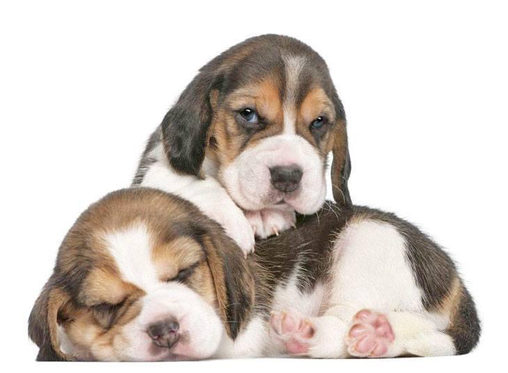beagle puppies taking a nap