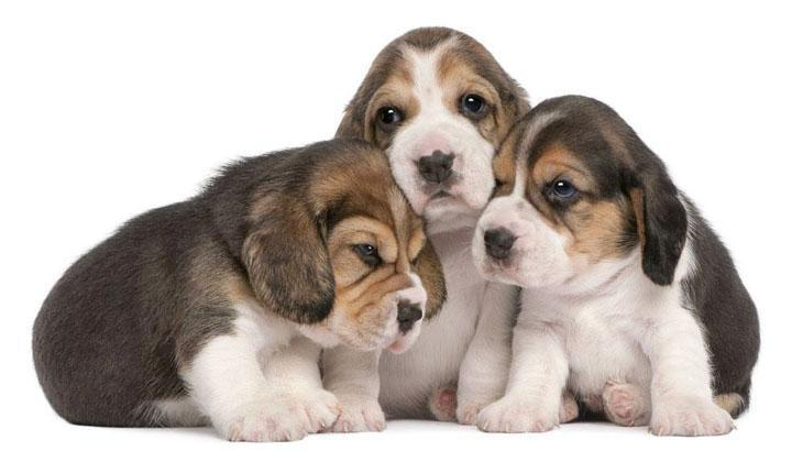 beagle puppies lookin for some loving