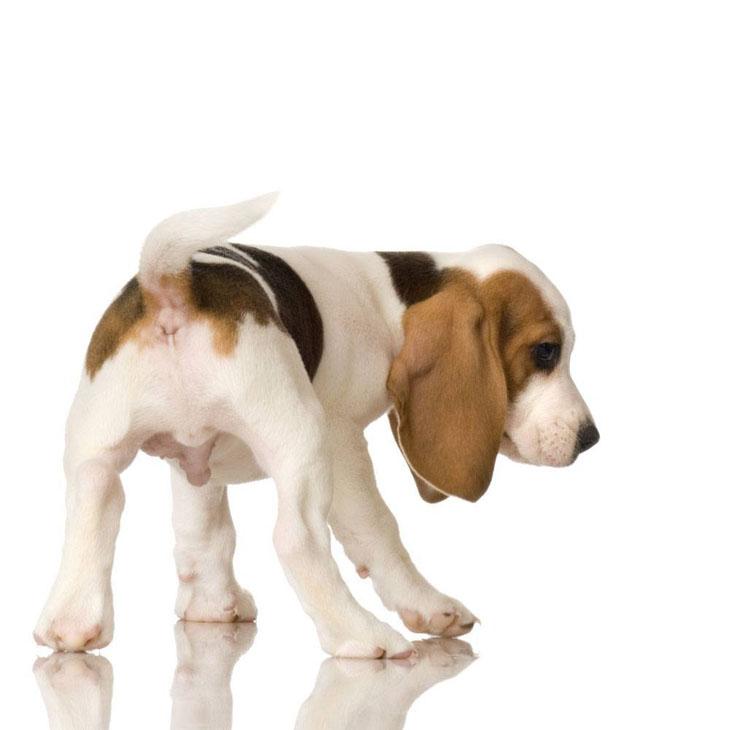 cute beagle puppy newborn