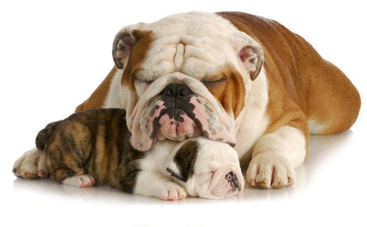 sleeping bulldog puppy and her mama