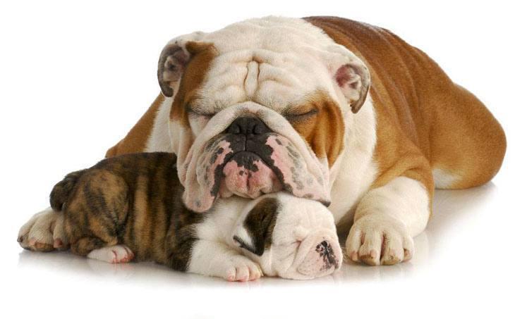 sleeping bulldog puppy and her mama