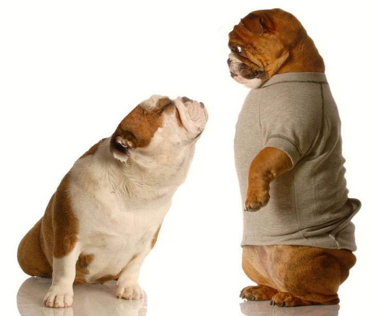 two bulldogs sharing a tender moment