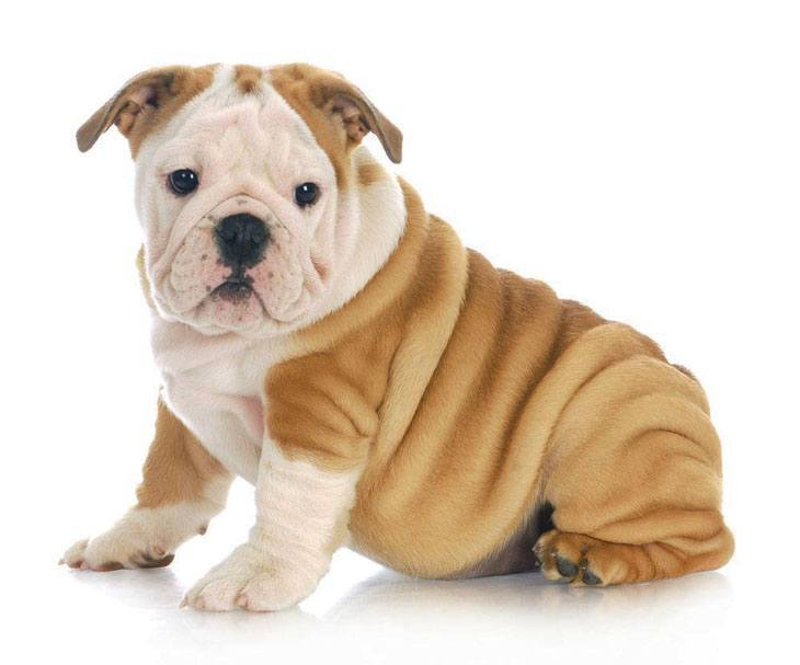 wrinkly bulldog puppy