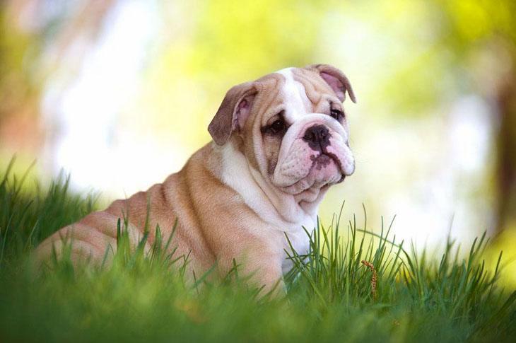cute bulldog puppy