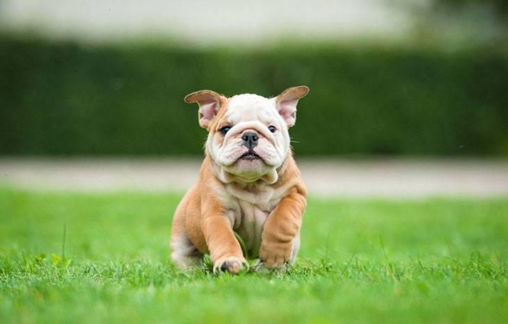 bulldog puppy in grassy field