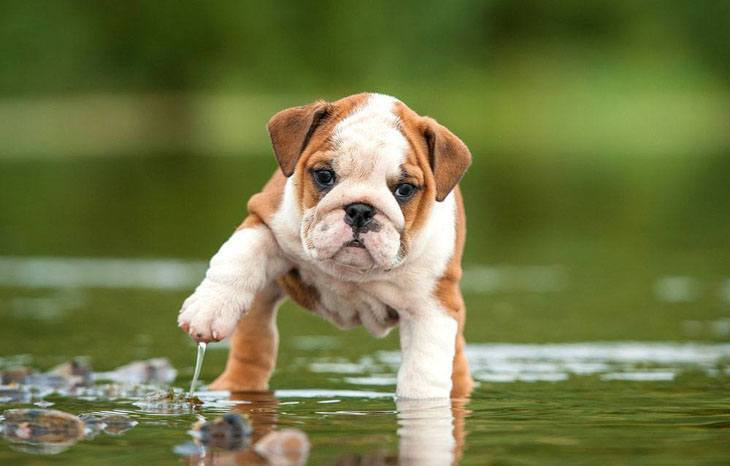 bulldog puppy in a puddle