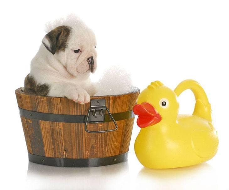 winston the bulldog takes a bath