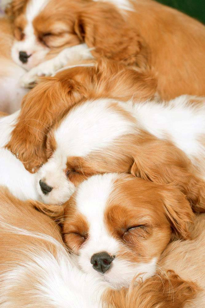 cavalier king charles spaniels taking a nap