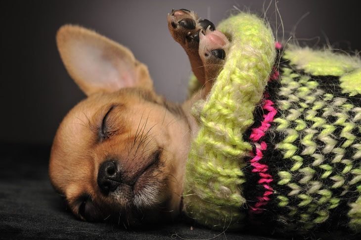 chihuahua catching up on it's sleep