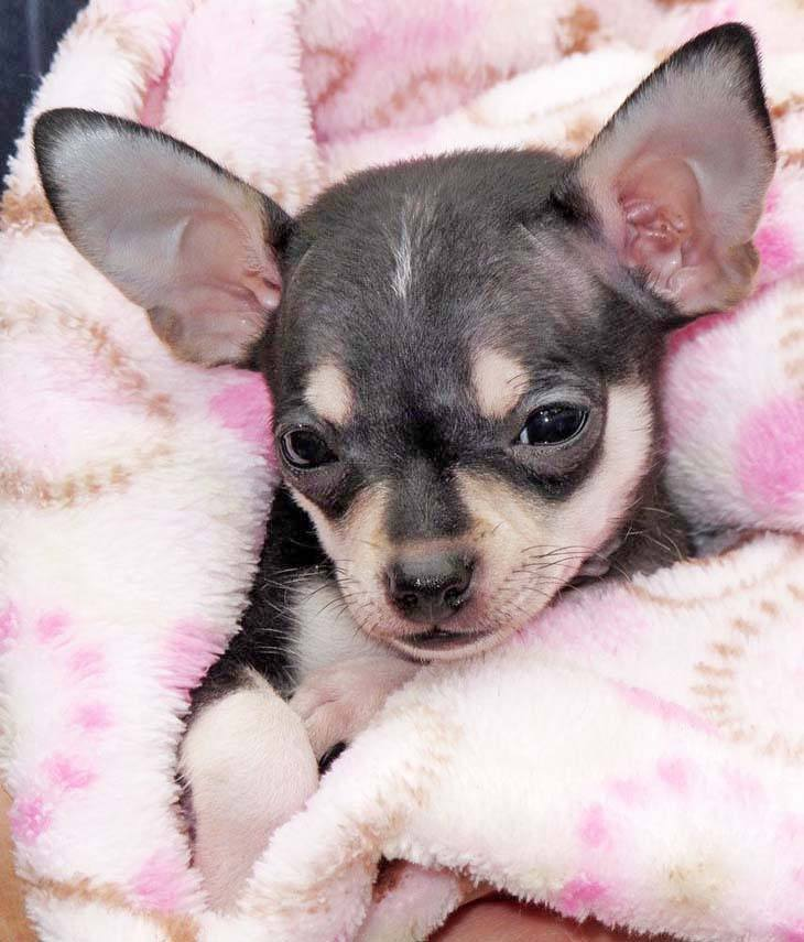 chihuahua pup falling asleep