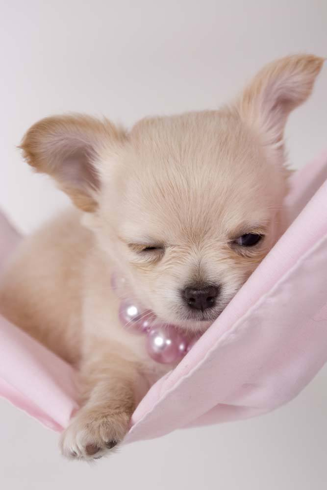 chihuahua resting up before a night out on the town