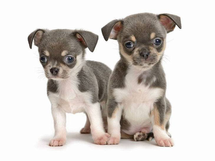 cute chihuahua puppies looking for fun