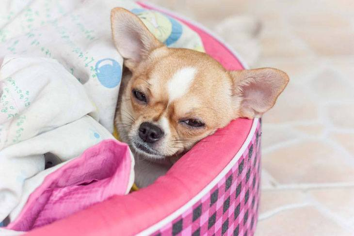 chihuahua napping in warm laundry