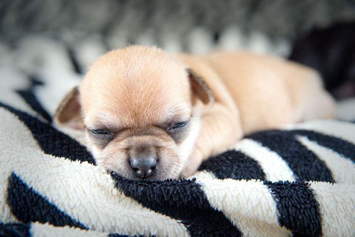 chihuahua puppy napping