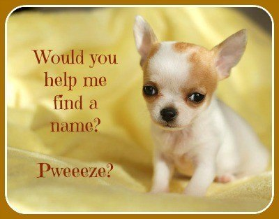 chihuahua puppy looking for a name