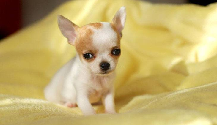 lonely chihuahua puppy