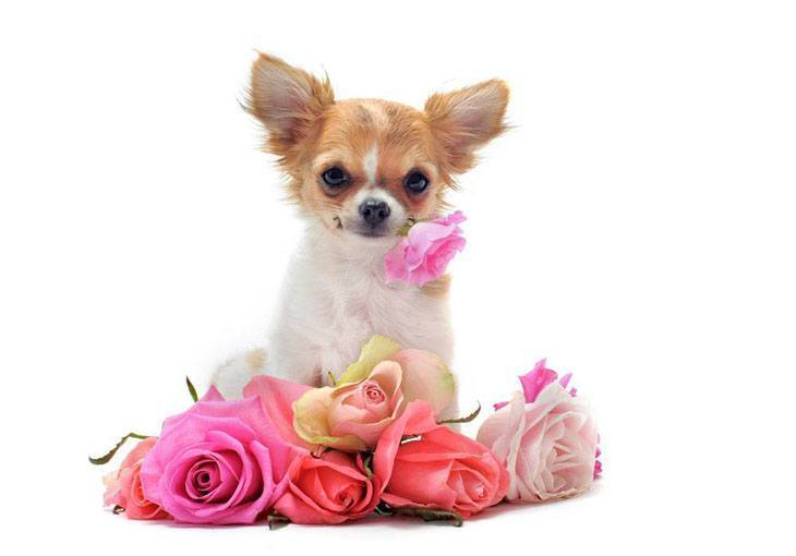 cute chihuahua puppy holding a flower