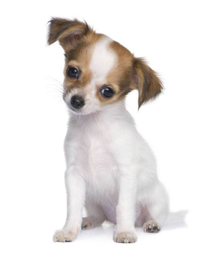 chihuahua puppy hoping to be picked up