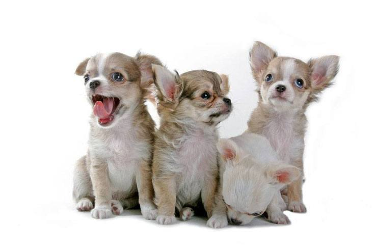 four chihuahua puppies looking for trouble