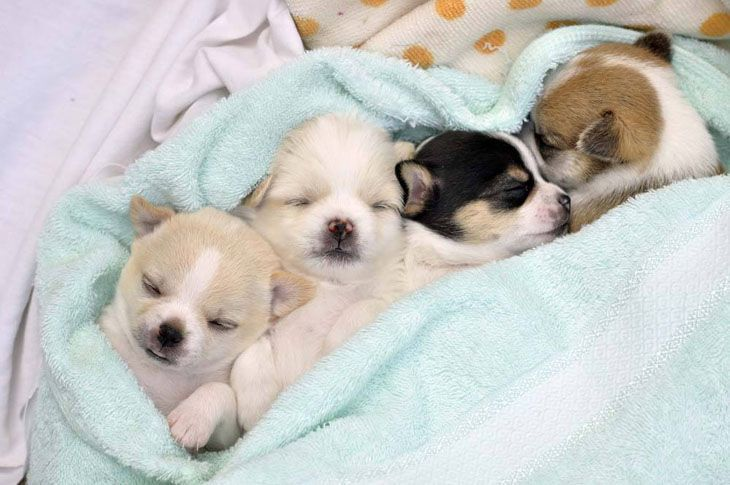 cute chihuahuas sleeping