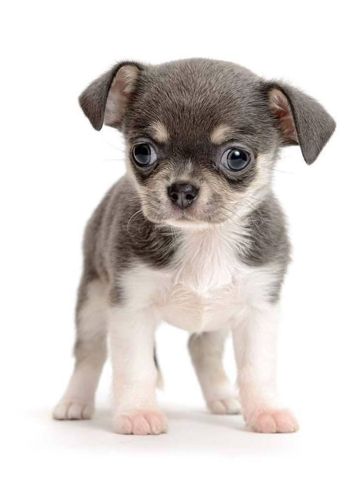 cute chihuahua puppy picture
