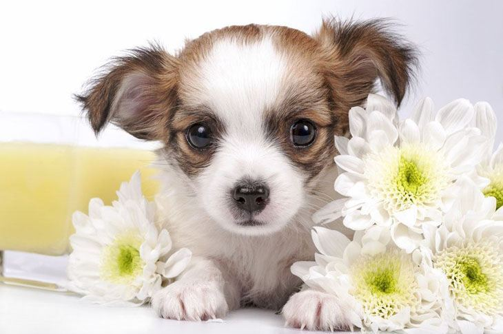 cute chihuahua puppy posing with some flowers